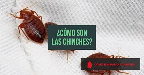 como son las chinches