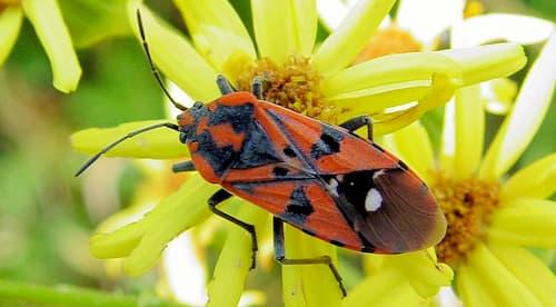 cucaracha de campo