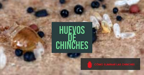 huevos de chinches